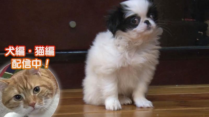 犬編(65)日本犬の赤ちゃん 完全制覇の旅