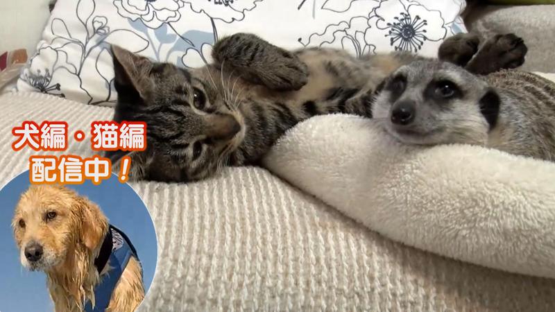 猫編(72)今週の赤ちゃんご対面 ネコ×ネコ 他